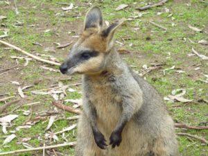 le kangourou australien