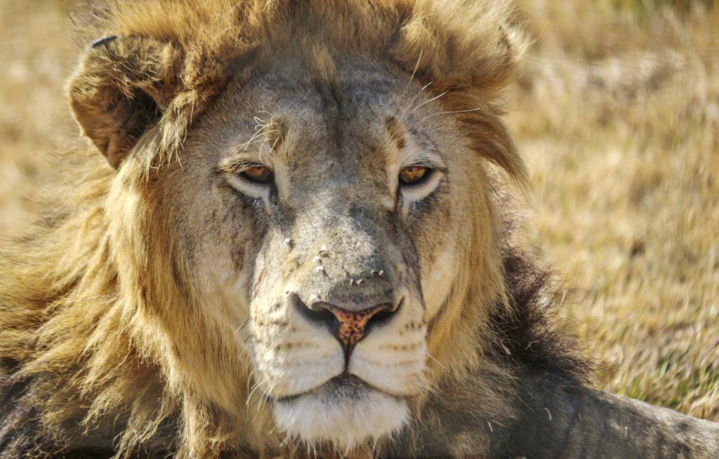 Lion, photo de C.Longley
